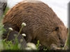 Beaver Kigurumi
