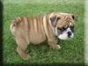 Bulldog Kigurumi