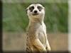 Meerkat Kigurumi