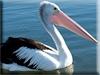 Pelican Kigurumi