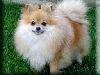 Pomeranian Kigurumi
