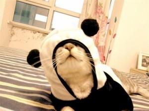 Cute Kitteh in Panda Kigurumi
